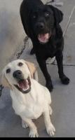 Labrador Retriever Puppies for sale in Perris, CA, USA. price: NA
