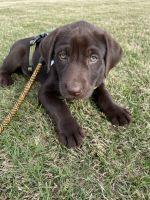 Labrador Retriever Puppies for sale in Bixby, OK, USA. price: NA