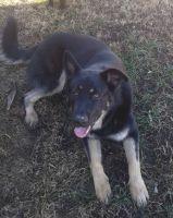 Labrador Retriever Puppies for sale in Mt Vernon, IN 47620, USA. price: NA