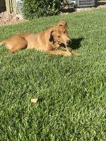 Labrador Retriever Puppies for sale in Las Vegas, NV 89115, USA. price: NA