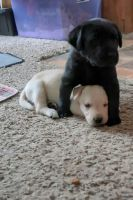 Labrador Retriever Puppies for sale in La Pine, OR 97739, USA. price: NA