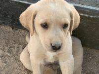 Labrador Retriever Puppies for sale in Newberry Springs, CA 92365, USA. price: NA