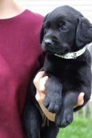 Labrador Retriever Puppies for sale in Los Angeles, CA, USA. price: NA