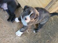 Labrador Retriever Puppies for sale in 585 Squirrel Run, Salisbury, NC 28146, USA. price: NA