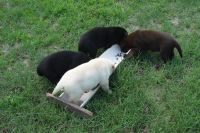 Labrador Retriever Puppies for sale in Tyler, TX, USA. price: NA