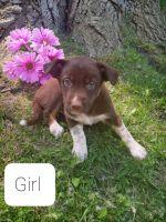 Labrador Retriever Puppies for sale in Clio, MI 48420, USA. price: NA