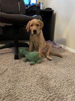 Labrador Retriever Puppies for sale in Scottsdale, AZ, USA. price: NA