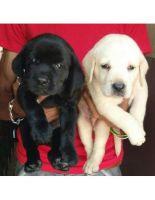Labrador Retriever Puppies for sale in Phoenix, AZ, USA. price: NA