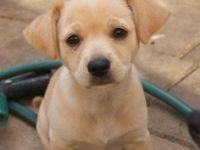 Labrador Retriever Puppies for sale in Champlin, MN 55316, USA. price: NA