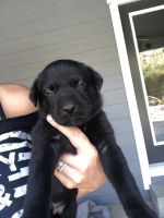 Labrador Retriever Puppies for sale in Orland, CA 95963, USA. price: NA