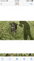 Labrador Retriever Puppies for sale in Winston-Salem, NC, USA. price: NA