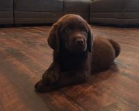 Labrador Retriever Puppies for sale in 1000 Vin Scully Ave, Los Angeles, CA 90026, USA. price: NA