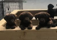 Labrador Retriever Puppies for sale in Hawthorne, CA, USA. price: NA