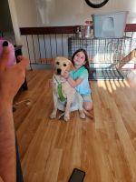 Labrador Retriever Puppies for sale in Woodbridge Township, NJ, USA. price: NA