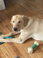 Labrador Retriever Puppies for sale in Holyoke, MA, USA. price: NA