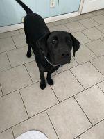 Labrador Retriever Puppies for sale in Cortlandt Manor, NY 10567, USA. price: NA