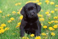 Labrador Retriever Puppies for sale in Hacienda Heights, CA, USA. price: NA