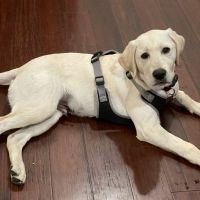 Labrador Retriever Puppies for sale in 524 Rand St, San Mateo, CA 94401, USA. price: NA