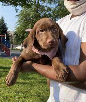 Labrador Retriever Puppies for sale in Newark, NJ, USA. price: NA