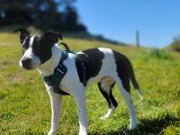 Labrador Retriever Puppies for sale in 810 Divisadero St, San Francisco, CA 94117, USA. price: NA