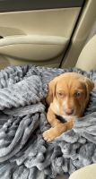 Labrador Retriever Puppies for sale in Gainesville, FL, USA. price: NA
