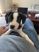 Labrador Retriever Puppies for sale in Holland, MI 49423, USA. price: NA