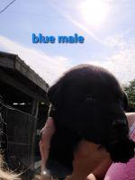 Labrador Retriever Puppies for sale in Harrodsburg, KY 40330, USA. price: NA