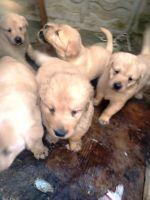 Labrador Retriever Puppies for sale in Compton, CA 90222, USA. price: NA