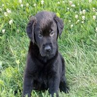 Labrador Retriever Puppies for sale in Paradise, PA 17562, USA. price: NA