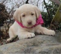 Labrador Retriever Puppies for sale in Florence, SC, USA. price: NA