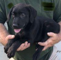 Labrador Retriever Puppies for sale in Clinton, MO 64735, USA. price: NA