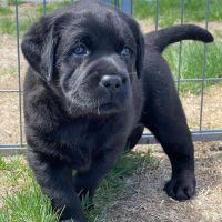 Labrador Retriever Puppies for sale in Miami, FL 33132, USA. price: NA