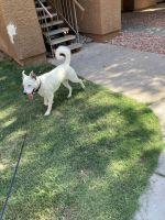 Labrador Retriever Puppies for sale in Glendale, AZ, USA. price: NA