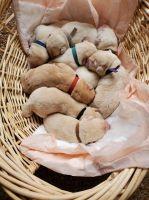 Labrador Retriever Puppies for sale in Keene, TX, USA. price: NA