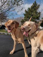 Labrador Retriever Puppies for sale in Jefferson City, MO, USA. price: NA