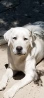 Labrador Retriever Puppies Photos