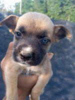 Labrador Husky Puppies for sale in Princeton, NC 27569, USA. price: NA
