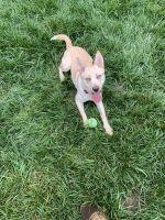 Labrador Husky Puppies for sale in 1634 S Jordan Dr, Clarksville, TN 37042, USA. price: NA