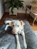 Labrador Husky Puppies for sale in Lanham, MD 20706, USA. price: NA