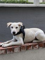 Labrador Husky Puppies for sale in Irvine, CA 92620, USA. price: NA