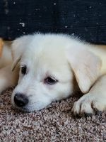 Labrador Husky Puppies for sale in San Antonio, TX, USA. price: NA
