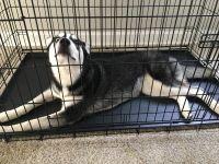 Labrador Husky Puppies for sale in Alexandria, VA, USA. price: NA