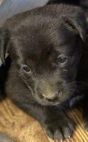 Labrador Husky Puppies for sale in 585 Squirrel Run, Salisbury, NC 28146, USA. price: NA