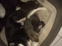 Labrador Husky Puppies for sale in Mesa, AZ, USA. price: NA