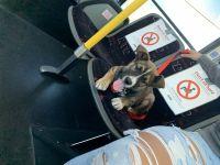 Labrador Husky Puppies for sale in Stockton, CA 95210, USA. price: NA