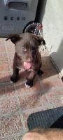 Labrador Husky Puppies for sale in Phoenix, AZ 85051, USA. price: NA