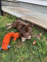 Labrador Husky Puppies for sale in Falls Church, VA, USA. price: NA