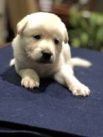 Labrador Husky Puppies for sale in Forest Park, GA, USA. price: NA