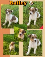 Labrador Husky Puppies for sale in 5650 W Hwy 74, Monroe, NC 28110, USA. price: NA