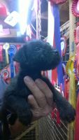 Lakeland Terrier Puppies for sale in Boston, MA, USA. price: NA